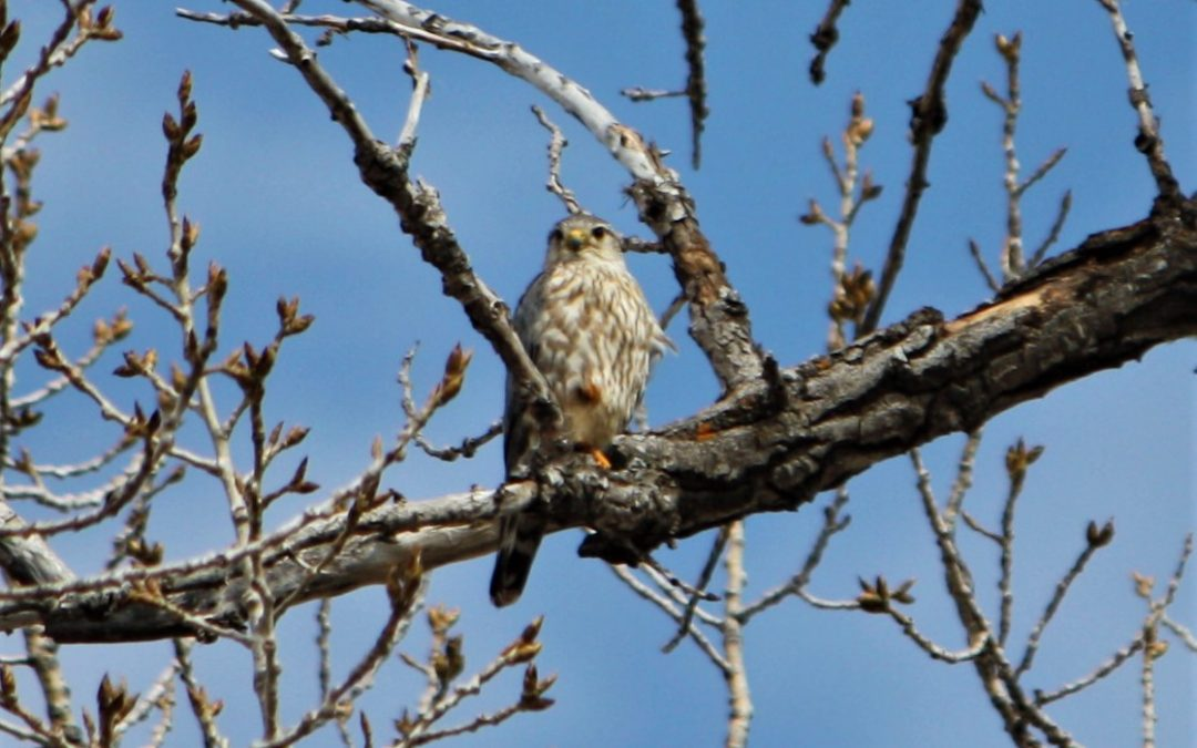 Prairie Merlin – The return of the wild folk
