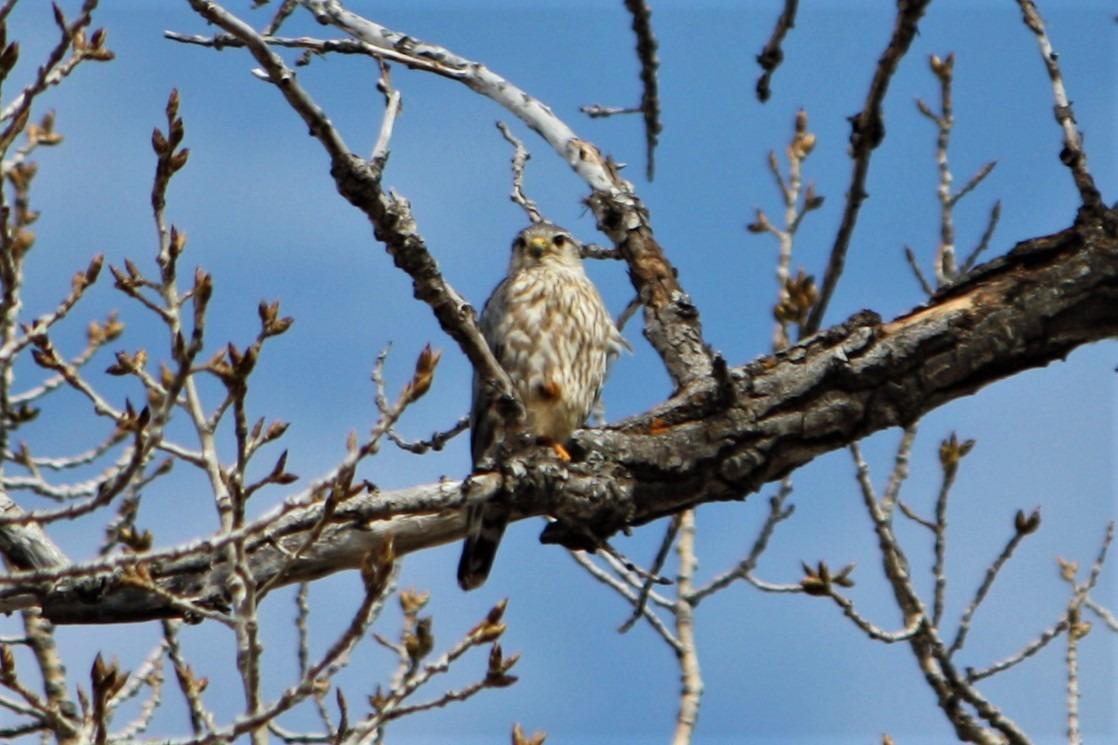 Prairie Merlin surveying its territory.