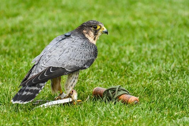 Merlin with falconry gear. Pixabay